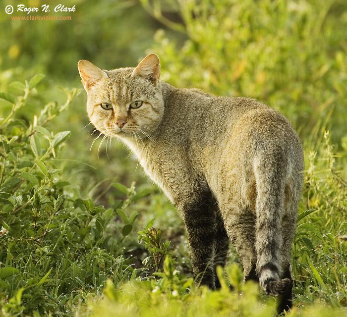 clarkvision photograph african wild cat wild cat 700x640