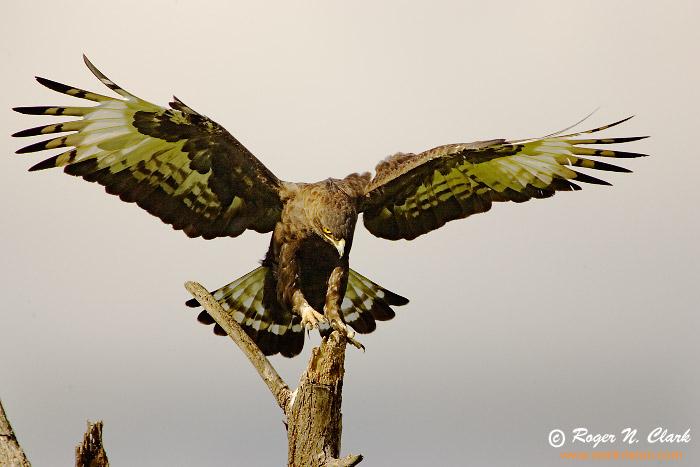 Sve vrste Ptica Eagle.c01.18.2007.JZ3F7355b-700