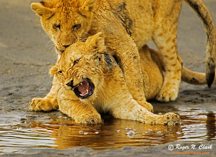 baby lion cubs playing. TITLELion Cub Play #9021