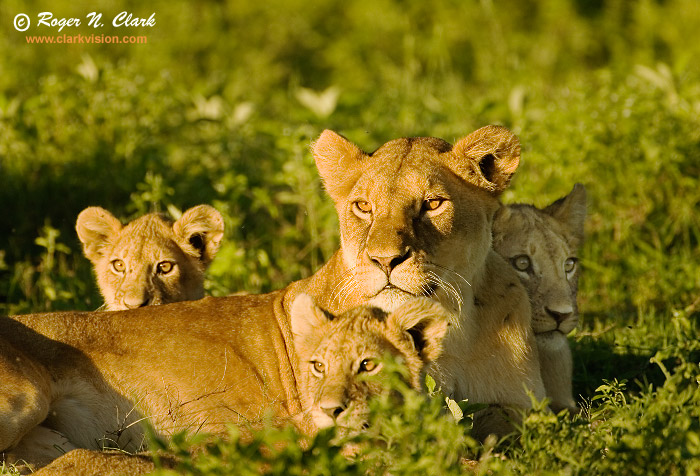 Lion family hd - photo#22