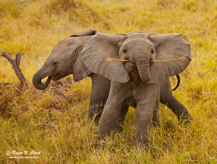 Image baby elephants c01 17 2009 mg 0130 f 900 jpg is copyrighted by