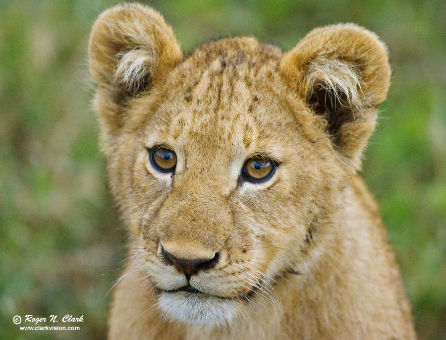 lion and asiatic lions essay Asiatic lion resource links: asiatic lion conservation asiatic lion research more about asiatic lions the asiatic lion once roamed throughout arabia, asia minor, persia and india.