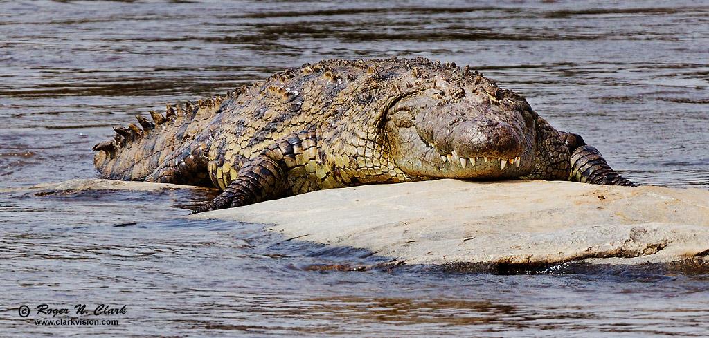 Nile Crocodile Nile Crocodile  2564