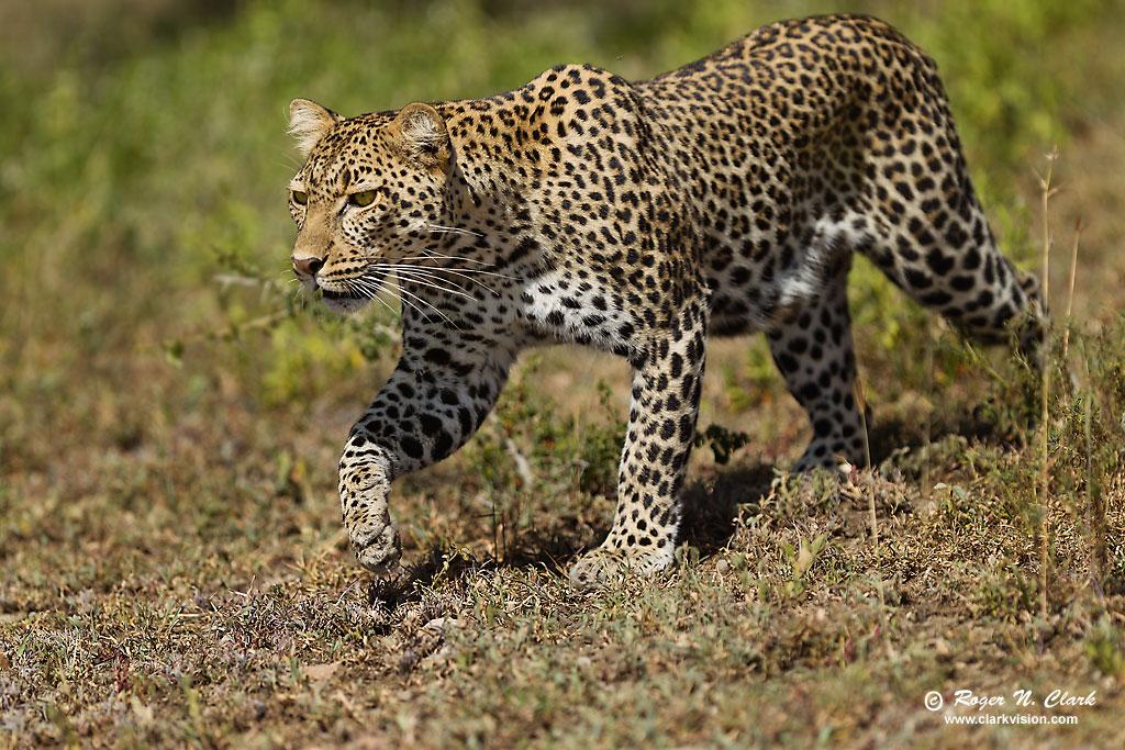 Stalking Leopard  1270  Leopard