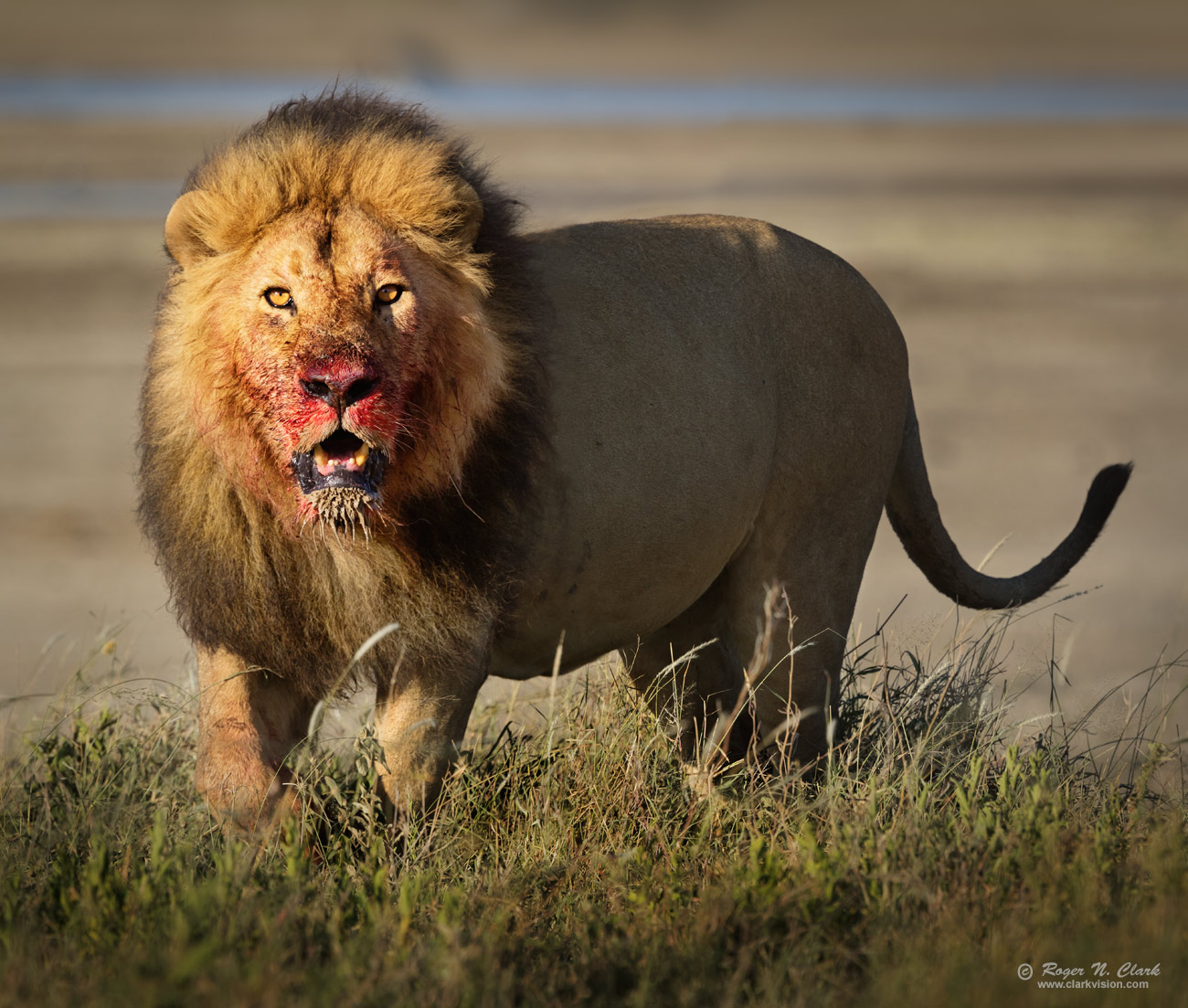 ClarkVision Photograph - Approaching Male Lion