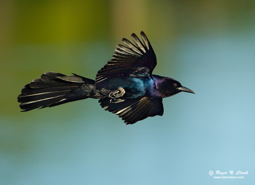 ClarkVision Photograph - Boat-Tailed Grackle in Flight, # 4284  ClarkVision Pho...