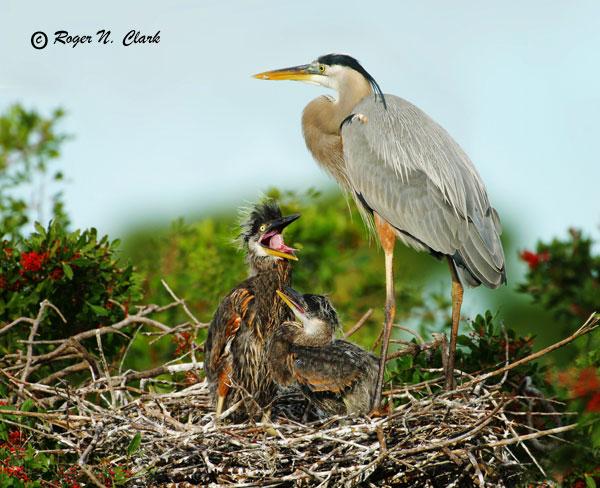Baby blue heron bird - photo#6