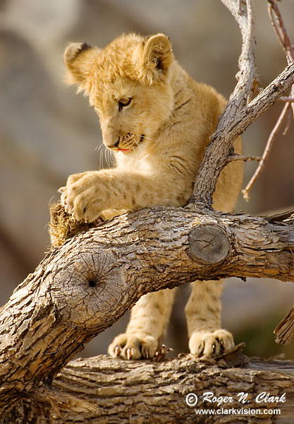 http://clarkvision.com/galleries/images.lions/web/lion.cub.c02.11.2005.jz3f4256.b-600.jpg