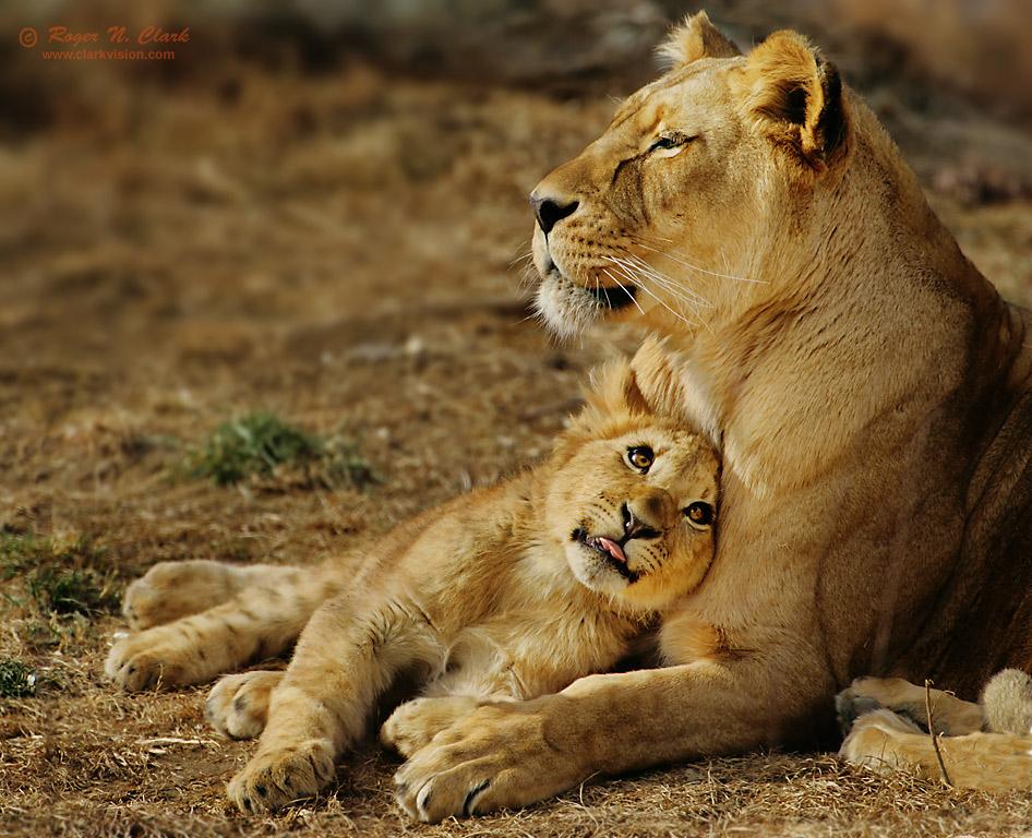 clarkvision photograph lion cub love
