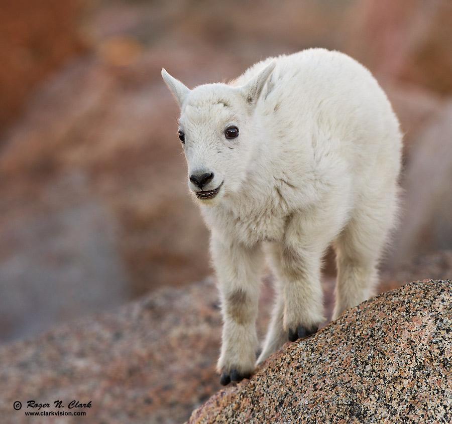 Smiling Baby Mountain Goat  0475Baby Mountain Goat