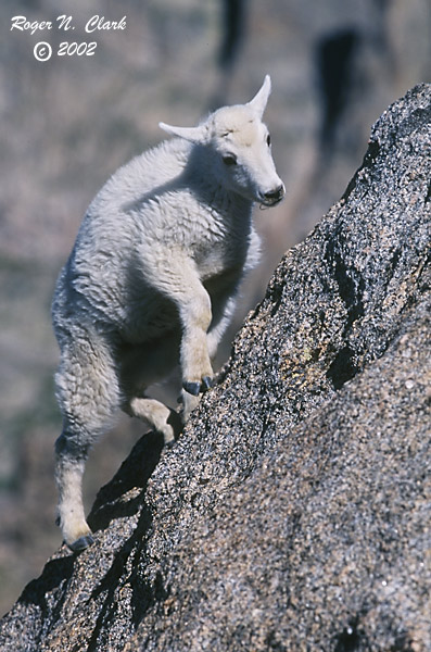 ClarkVision Photograph - Baby Goat Climbing a Steep Face (1)  ClarkVision Pho...